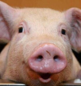 Продаю свиней