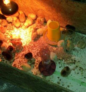 Цыплята,петухи разных пород.