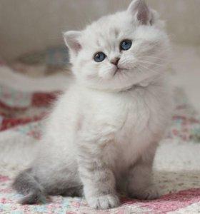 Британский голубоглазый котик