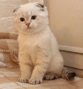 Синеглазый вислоухий котик