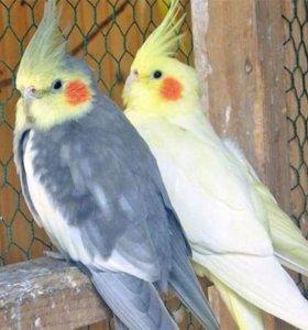 Попугаи карелла, волнистые попугаи