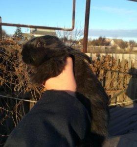Кролики 1мес