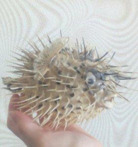 Чучело рыба фугу