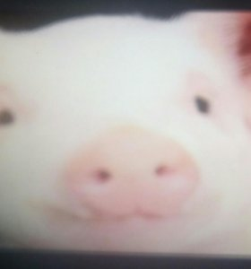Продам свинину четвертинками