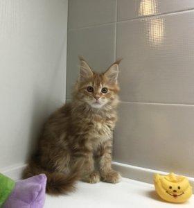 Котенок Мейн Кун – кошечка