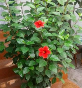 Китайская роза и Фикус