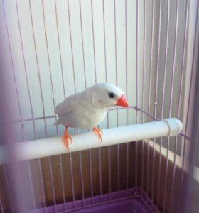 Попугай амадин с клеткой