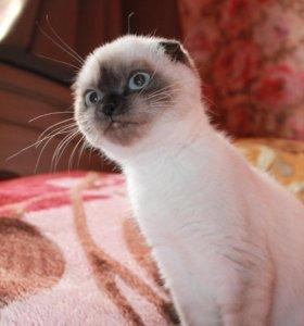Чистокровная шотландская кошечка