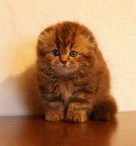 Вислоухие шотландские котята разных окрасов