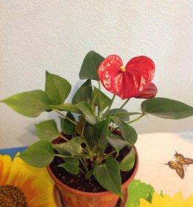 Цветок комнатный Антуриум