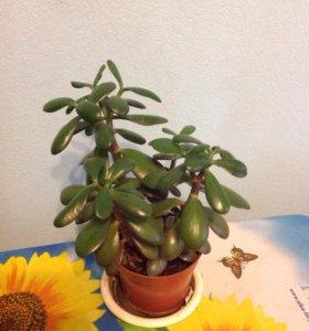 Цветок комнатный Крассула ( денежное дерево)