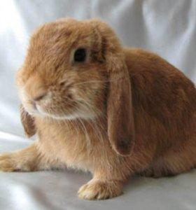 Вислоухий баран кролик+++ клетка в подарок