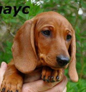 Клаус-щенок рыжей мини таксы