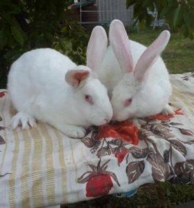 Продаются кролики мясных пород. Сукрольные самки