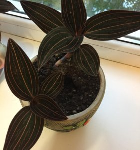 Отростки ванильной орхидеи