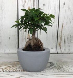 Фикус, Орхидеи, бонсаи