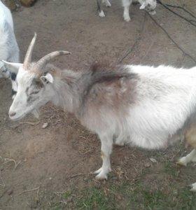 Продаю козу (дойную)