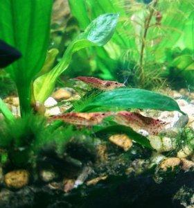 Креветки черри и рыбы Гуппи