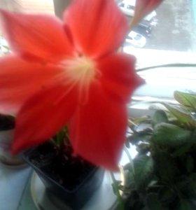 Цветок Аморалис