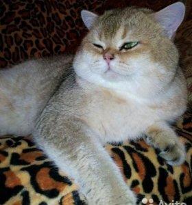 Вязка с золотым котом.