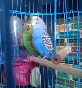 Подровнять клюв волнистому попугаю