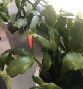 Декабрист рождественник зигокактус цветы