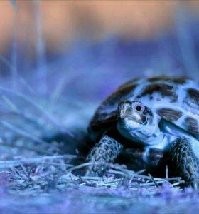 Среднеазиатская Сухопутная Черепаха