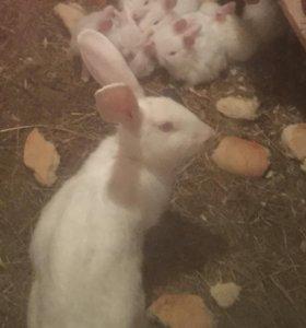 Кролики Белый великан чистокровные