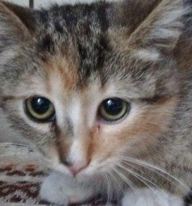 Ласковый котенок девочка трехцветочка в дар