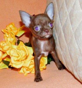 Шоколадная девочка чихуахуа