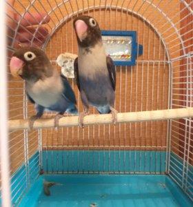 Попугай Масковые