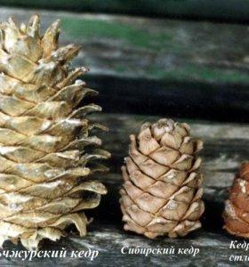 Орех Маньчжурского кедра