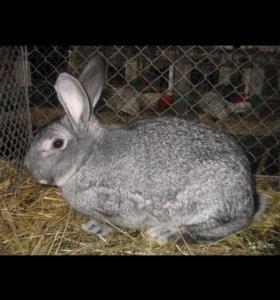 Продам кроликов крупной породы