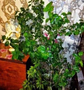 Домашний цветок в про тонародье Розан.
