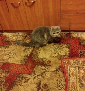 Шотландский кот,вязка с кошкой