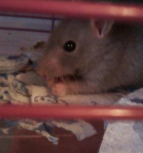 Крысёнок, мальчик