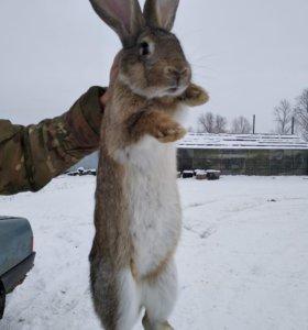 Кролик 10 кг
