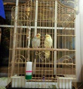 Продам 2 попугаев-карелл с клеткой.