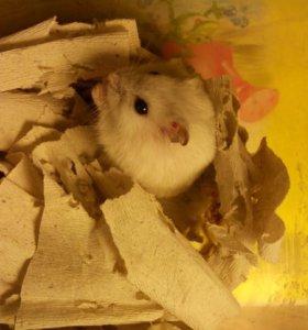 Хомячок белый
