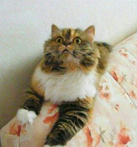 Срочно ! Продам шотландских кошек , котов , котят