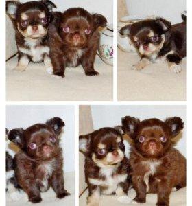 Шоколадные щеночки чихуахуа