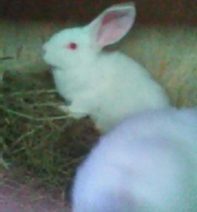 Продам кроликов мясных пород.