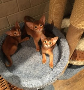 Абиссинские котята дикого окраса и соррель