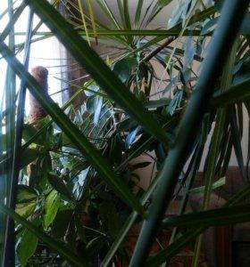 Крупные растения,пальмы для зимнего сада ,офиса