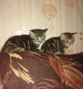 Продам шикарных британских котят