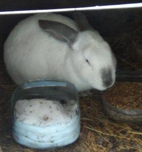 Кролы  Колифорнийцы. Кролики