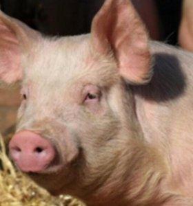 Беру свиней