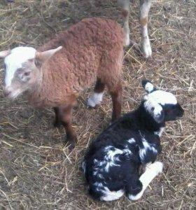 Овцы,бараны,ягнята
