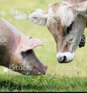Беру свиней, Крс