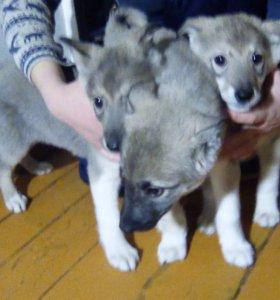 Продаётся щенок западно-сибирской лайки